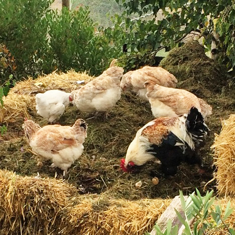 Chickens making compost