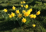 spring bulbs in the orchard